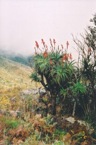 A cluster of Aloe arborescens along the forest edge.