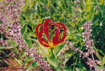 The Flame Lily, Gloriosa superba, perhaps our most distinctive and venerated native flower.