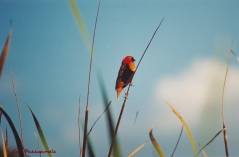 The Red Bishop,so called because of his bold red and black colouration, a bit like a bishop's cassock.