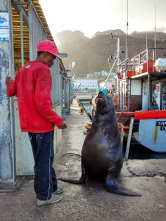 At Kal bay harbour one can find a friendly coloured man who has a friendly relationship with the local fur seals. The seals have an ample supply of fish heads cast from the docks but this specimen, dubbed Scarface, couldn't resist the fillets of snoek the guy tantalisingly dangled in front of him. All for the tourists and a few Rand of course.