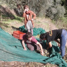 In the final stages of sorting and collecting the olives before boxing them.