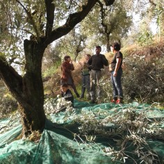 A typical set-up for harvest: a net laid out below the tree onto which the branches and olives fall. Experienced people and permitted to climb and prune from above, the others whack the olives with sticks from below.