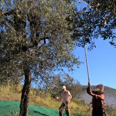 Many of the olives are whacked from the branches with a lone cane, sometimes with a small rake on the end.