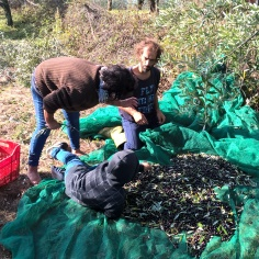 A good view of the olives mixed in with leaves and twigs prior to being collected in the plastic crates.