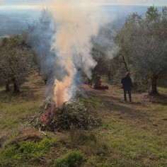 The olive branches are burnt in the orchard. The high concentration of oils in the leaves and branches make this relatively easy to do even if the conditions are damp.